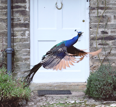 Peacock at Pencarrow