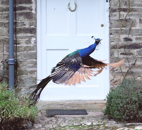 Peacock at Pencarrow