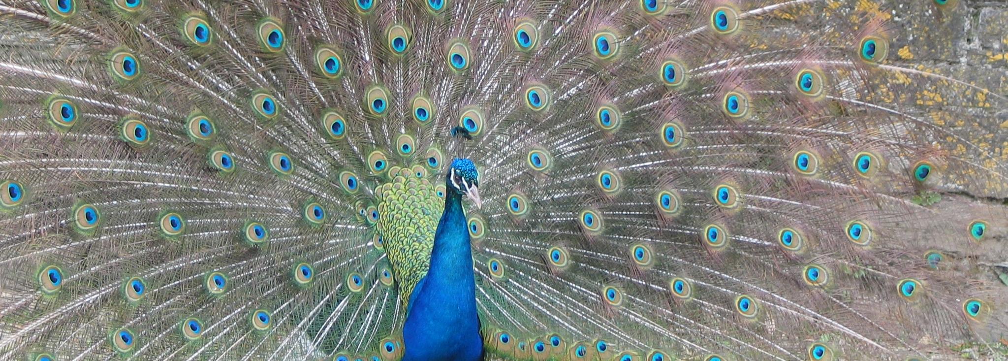 Peacock in the Pencarrow Gardens